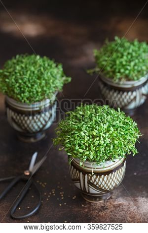 Alfalfa Microgreens. Sprouting Microgreens. Seed Germination At Home. Vegan And Healthy Eating Conce