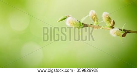 Soft Spring Nature Background With Pussy Willow Branch. Blossoming Fresh Willow Branch Macro In Sunn