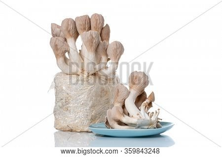 Pleurotus eryngii known as king trumpet mushroom, French horn mushroom, king oyster mushroom  on white