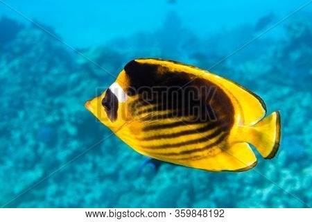 Raccoon Butterflyfish (chaetodon Lunula), Clear Blue Turquoise Water. Colorful Tropical Coral Fish I