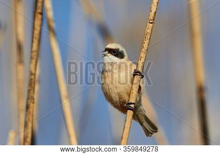 The Passerine Bird Eurasian Penduline Tit (ramirez Pendulinus), In A Reed.