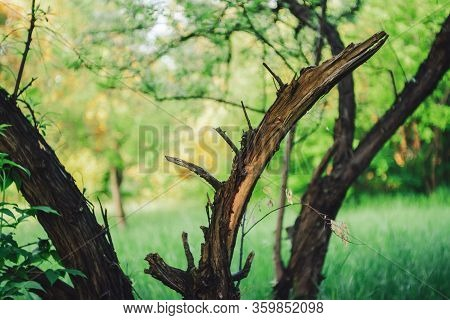 Broken Trunk Of Dry Tree On Green Bokeh Background With Copy Space. Cracked Branches And Rotten Trun