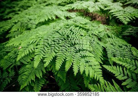 Vivid Green Texture Of Lush Fern Thickets. Beautiful Nature Background With Many Fern Leaves Close-u