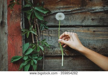 Dandelion Flower In Female Hand On Background Of Wooden Wall With Girlish Grape Leaves. Beautiful Ha