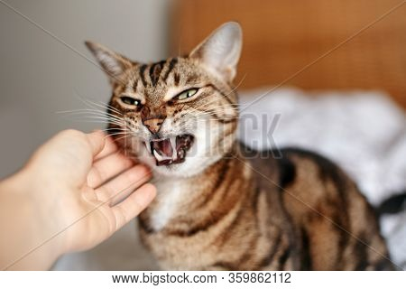 Man Woman Petting Stroking Hissing Angry Tabby Cat. Relationship Of Owner And Domestic Feline Animal