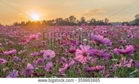 Flower Field In Summer.scenery View Of Beautiful Cosmos Flower Field In Morning.pink Flowers Field L