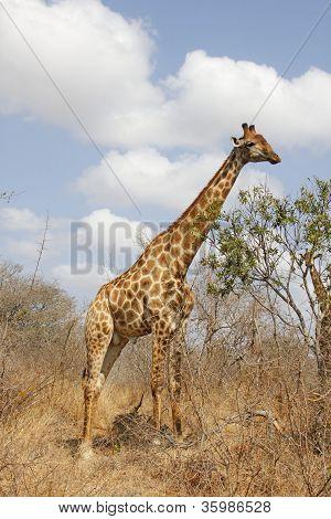 Male giraffe grazing in the bush