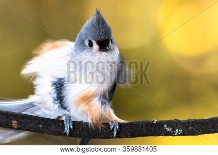 Fluffed Tufted Titmouse Perched On An Autumn Branch