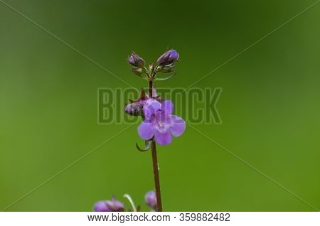 Delicate Purple Foxglove Flower In Full Bloom On A Stem With Other Flowers Still Waiting To Open Con