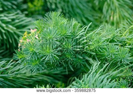 Natural Background. Many Branches Of Coniferous Ornamental Plants With Green Needles. Euphorbia Cypa