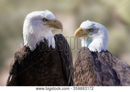 Close Up Of The Left And Right Faces Of A Beautiful Male Bald Eagle.
