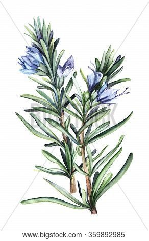 Watercolor Drawing Of Beautiful Wild Rosemary Plant With Narrow Thin Leaves And Blue Flowers With Un