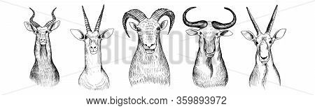 Vector Set Of Hand Drawn Heads Of Antelopes, Bull And Bizon, Vintage Illustration