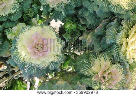 Brassica Oleracea Var. Acephala F. Tricolor. Cabbage Flower In The Flowerbed. Light Green Flower Of