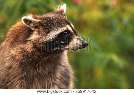 Profile of a curious Racoon in wood