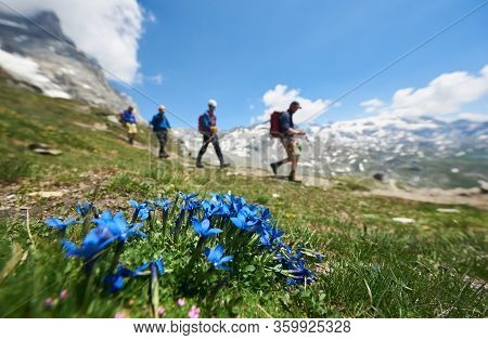 Selective Focus Of Blue Alpine Flowers, Group Of Four Tourists Walking With Trekking Equipment And B