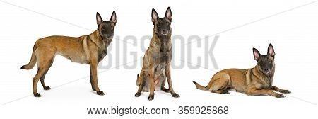 Three Similar Pedigree Belgian Shepherd Malinois Isolated On White Background