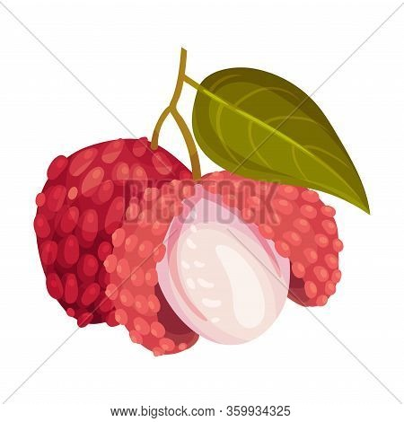 Litchi Fruit With Rough Opened Pink-red Rind And Sweet Flesh Hanging On Tree Branch Vector Illustrat