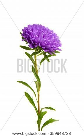 Aster Beautiful Flower Isolated On White Background