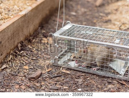 Large Rat Captured In Galvanized Steel Trap Cage Near Garden Bed In Texas, America