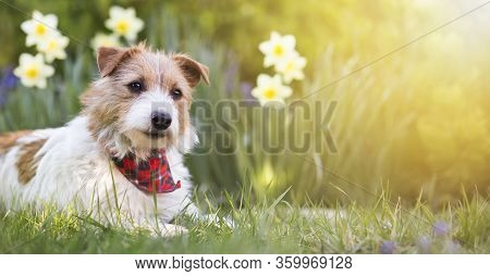 Happy Small Cute Jack Russell Terrier Pet Dog Puppy Smiling In The Grass With Flowers. Summer, Sprin