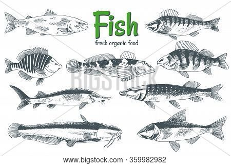 Hand Drawn Vector Fishes. Fish And Seafood Products Store Poster. Can Use As Restaurant Fish Menu Or