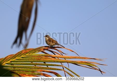 Common Tailorbird Perching On Palm Leaf, Common Tailorbird  Background, Close Up Of Common Tailorbir