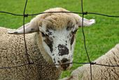 A speckled sheep behind a fence in a green pasture poster