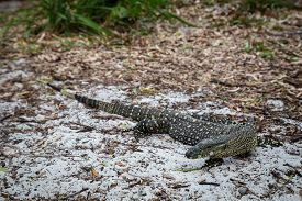 A Large Monitor Lizard At Whithaven Beach On The Whitsunday Islands In Queensland, Australia