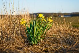 Daffodils On A Dry Meadow In The Early Spring With A Farm In The Background