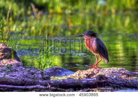 Green Heron In High Dynamic Range Hdr (butorides Virescens Virescens)