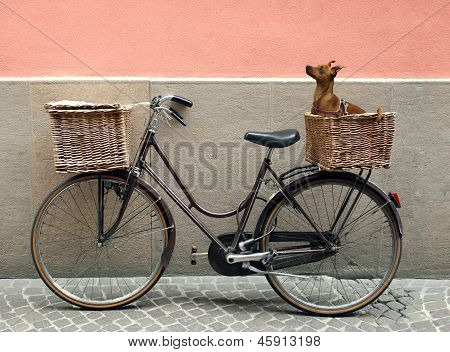 Bicycle And Chihuahua
