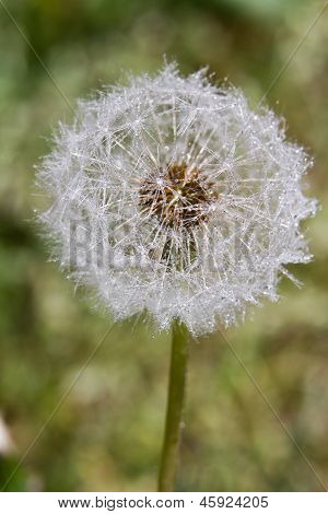 Wet Dandelion Macro