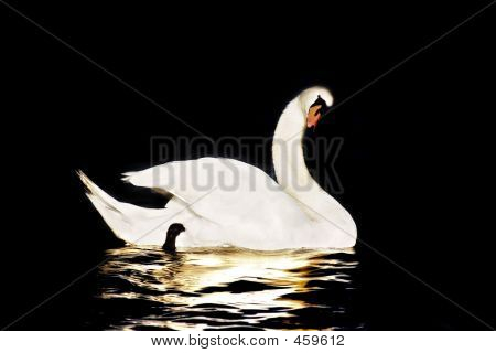 swan in black background poster