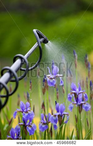 Protecting iris flower plant from vermin with pressure sprayer poster