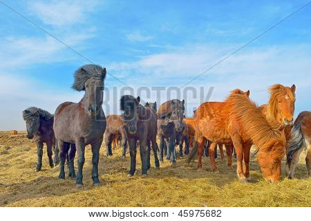Icelandic horses on field in spring time poster