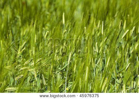 Wheat Crop Field