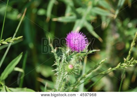 Pink Flower On A Thorn