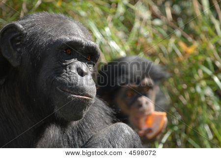 Mother Chimpanzee