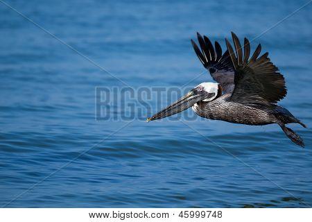 Brown Pelican Wings Up