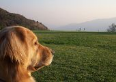 Golden Retriever dog looking out into the horizon. poster