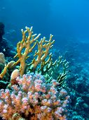 coral reef with yellow fire and hard corals at the bottom of red  sea in egypt poster