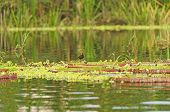 Jacana on Giant Water Lilies in the Amazon rain forest poster
