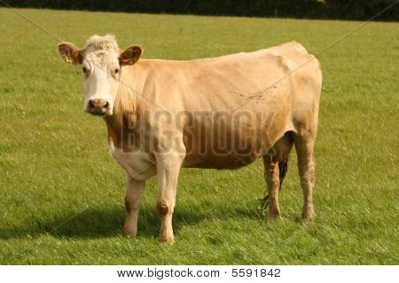 beige cow on the field