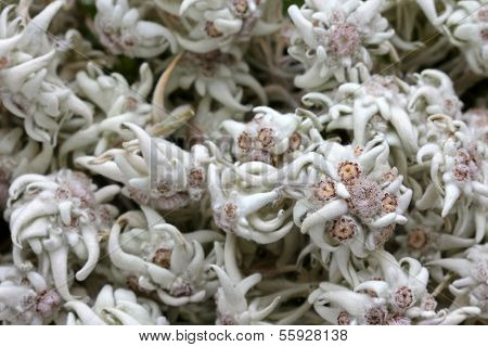 Dried mountain flower - Edelweiss (Leontopodium alpinum) in Austria