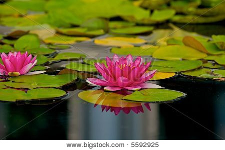 Lilly-pads floating in a pond