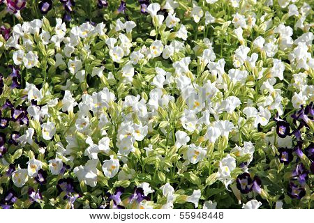 White Garden Balsam.
