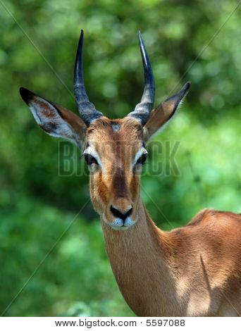 Young Male Impala Antelope (Aepyceros Melampus) in the Kruger Park South Africa. poster