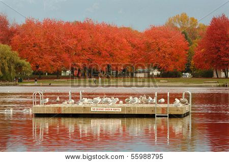 The Trout Lake swim float in autumn, after the swimming season is finished, is taken over by seagulls. John Hendry Park, Vancouver, British Columbia, Canada. poster