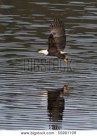 Eagle Just Caught A Fish.